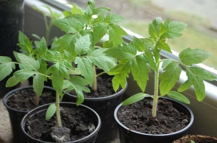 Выращивание рассады по методу Миттлайдера