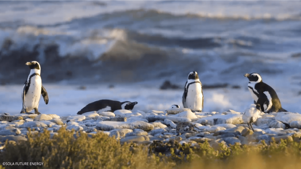 Robben Island Solar Microgrid protects islands biological diversity - Penguins