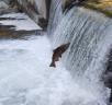 salmon-upstream