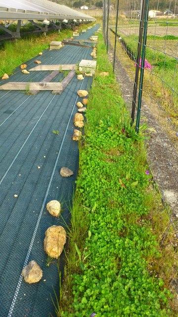 グランドカバープランツとして植栽中のシロツメクサ