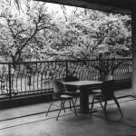 第20回 北浜白黒写真俱楽部写真展「 SAKURA 」
