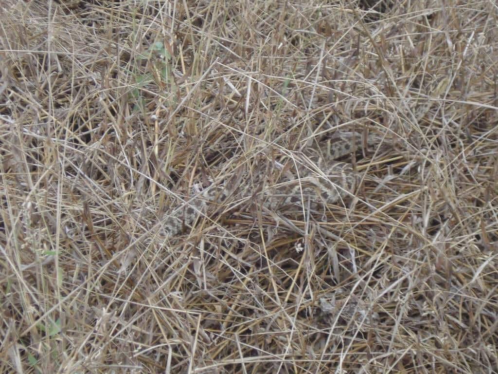 snake in ecuador