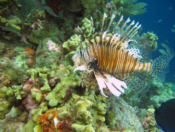 2913_lionfish