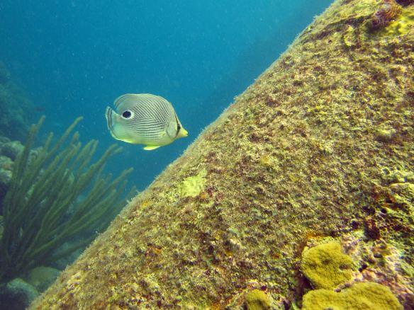 Foureye butterfly fish, Salt Pier,Bonaire.