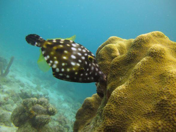 Whitespotted filefish, Bari reef, Bonaire.