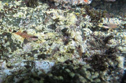 Typical rocky bottom at Coronadito, with a trio of gobies. 6/28/16