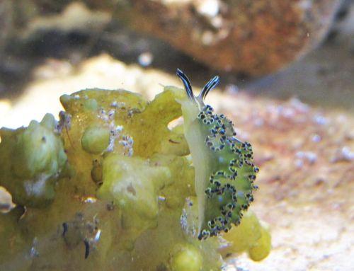 Captive E. diomedea crawling on Colpomenia, BLA station 7/8/16