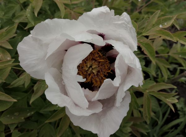 пион белый древовидный цветок