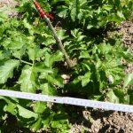 26.06.: Wieder ist die Pastinake buschiger geworden und zwischen den anderen Pflanzen schwer unterscheidbar.