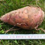 Eine Süßkartoffel ist 16cm lang und wiegt ca. 400g