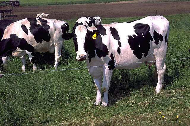 Holstein_cows_large