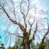 Aomori, les cerisiers du Fujita Memorial Garden..