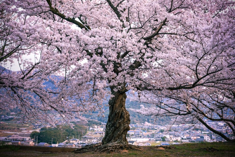 Cerisier, Shikoku ( Soleil Levant 75 )