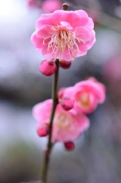 Kyushu, Beppu, Prunier ( Soleil Levant 75 )