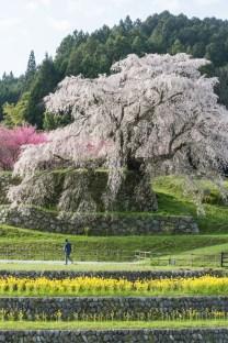 Nara, Matabei Sakura ( Soleil Levant 75 )