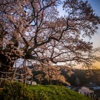 Okayama: Le Daigo sakura, le cerisier millénaire.