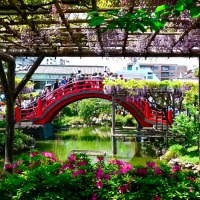 Tokyo, Festival des glycines du Kameido Tenjin..