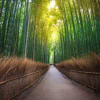 Le bambou, la plante emblématique du Japon..