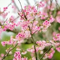 Okinawa, les cerisiers fleurissent dès la mi-janvier.