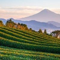 Les plantations de thé de Shizuoka.