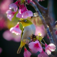 Okinawa: Les cerisiers fleurissent dès le mois de janvier.