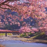 Floraison des cerisiers Kawazu.