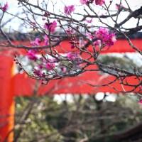Kyoto, les pruniers en fleurs.