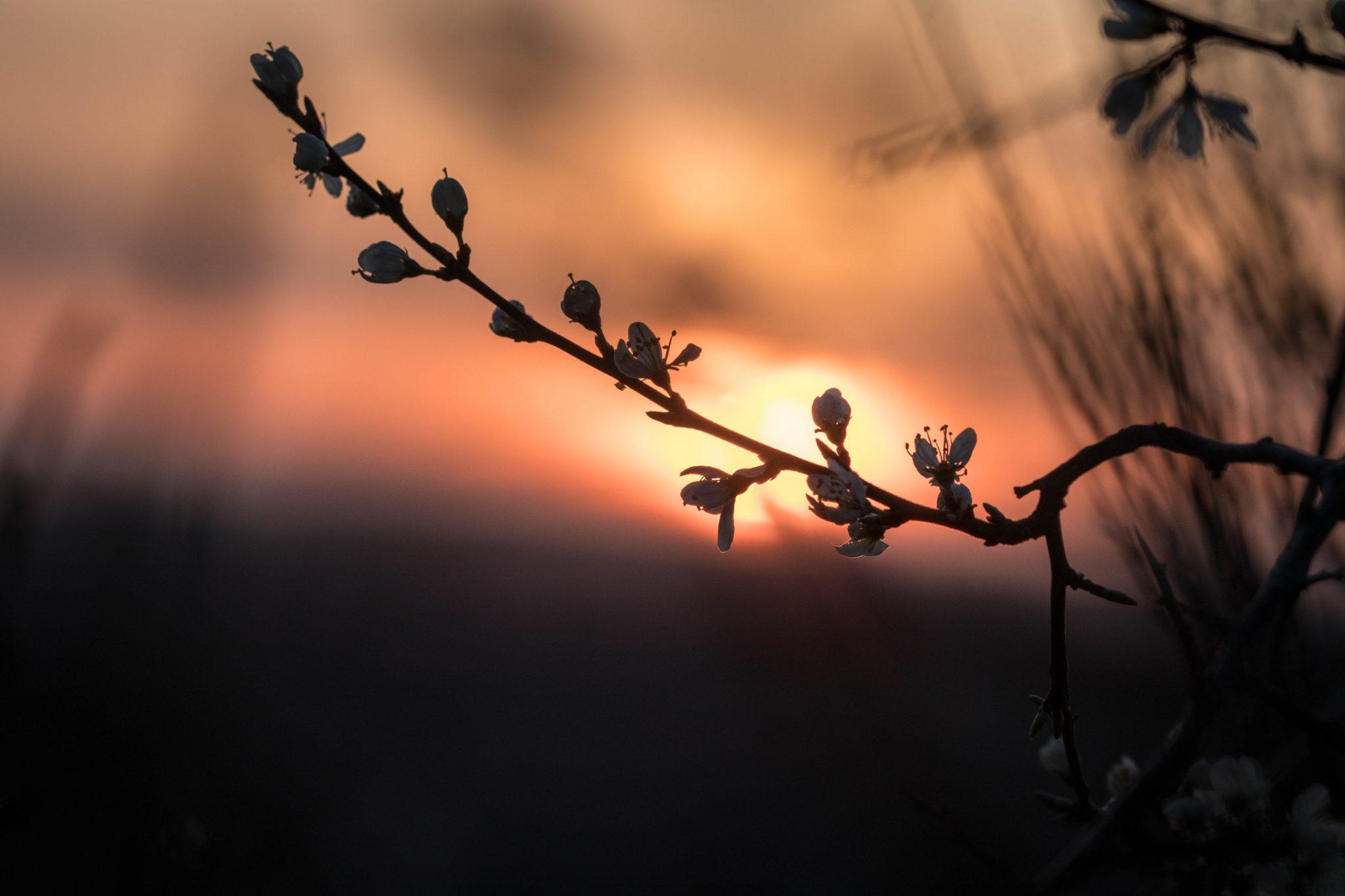 Zonsondergang knooppunt 150. Sint-Truiden. Bloesems bij zonsondergang.