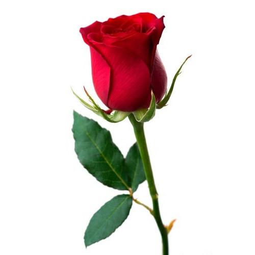 red-rose-500x500.jpg