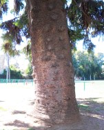 Giant tree trunk in Josie Park in Oakland CA
