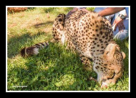 Pat a cheetah