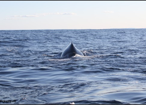 Whale watching – 2016
