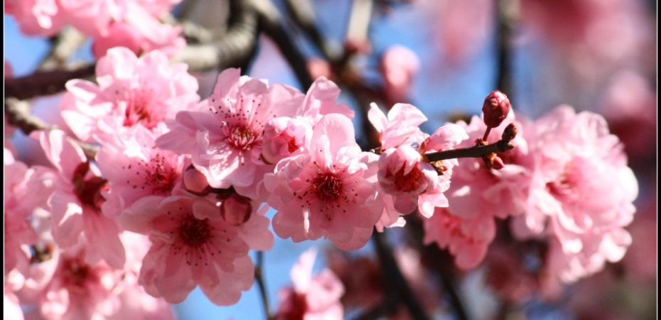 Cherry blossom festival Sydney