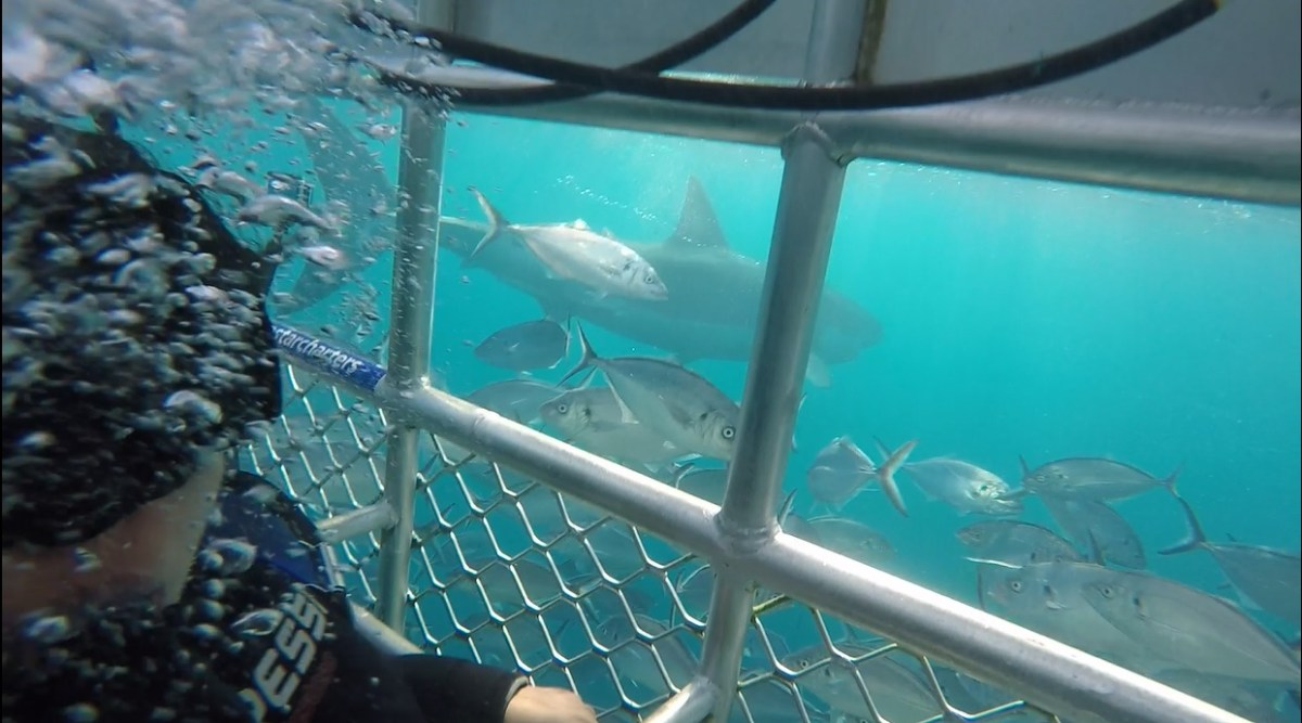 Cage Diving with Great White Shark