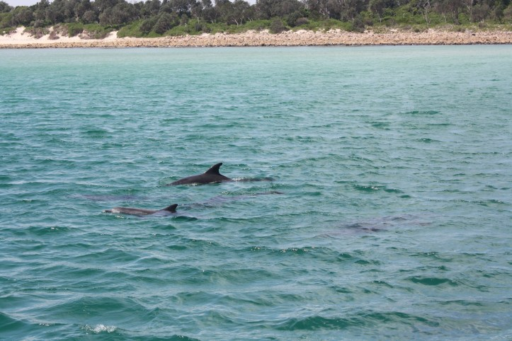 Dolphins at Port Stephens