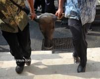 Kepala kerbau dibawa oleh petugas pabrik untuk ritual cembengan sebagai tanda mengawali masa gilingan tebu, Kamis (12/5) di Pabrik Gula (PG) Tasikmadu Karangayar Jawa Tengah.