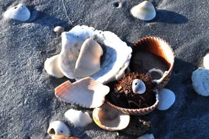 Sea Urchin and Shells, Stump Pass Beach State Park, Nov. 6, 2010
