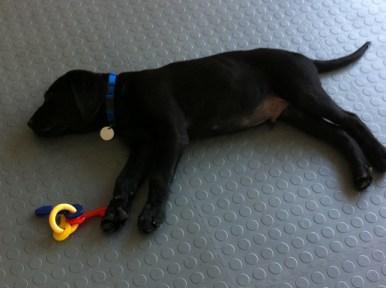 JP, a Guide Dog in Training, in Sarasota, Fla.