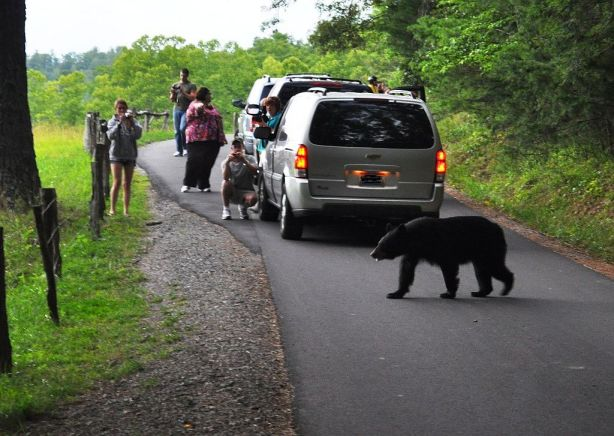 It's a Bear! Photo is Out of Focus but It's a Bear! Cades Cove Loop Road, Great Smoky Mountains National Park