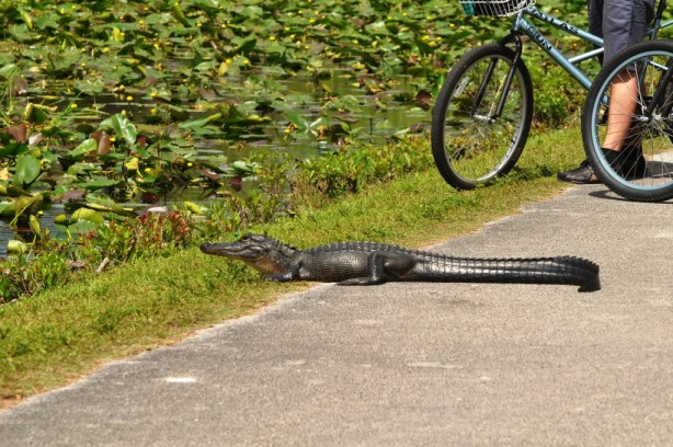 Danger! Danger! Never get as close to an alligator as these bicyclists. Shark Valley, Everglades National Park, Feb. 27, 2012