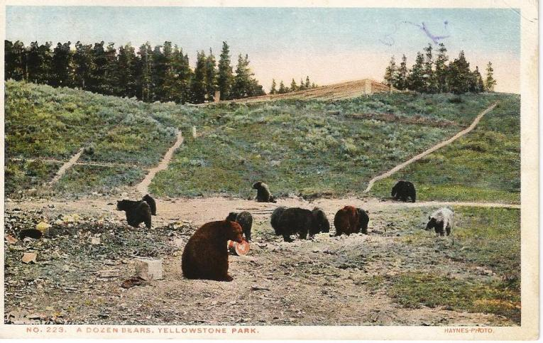 Postcard of Bears in Yellowstone National Park, 1916