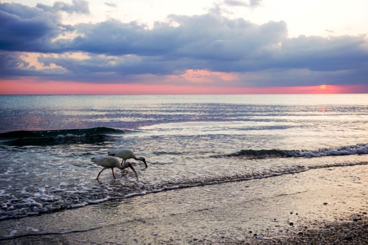 Welcome to My Backyard - Ibis at Sunset at Englewood Beach and Gulf of Mexico, Fla. Perfect to Discover Boating.