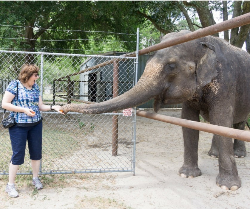 Feed an Elephant Carrots at All About Elephants in Williston, Fla.