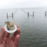 Oyster Farming: Alabama's Newest Seafood Revolution