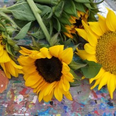 Sunflower U-Pick Season in Tampa Bay, Florida