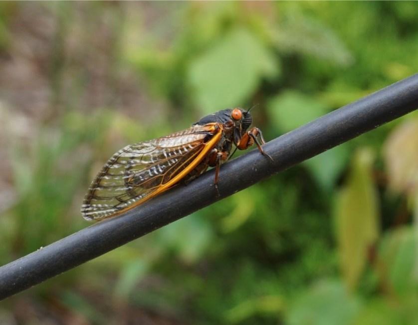 A Brood X Cicada in North Georgia, May 2021