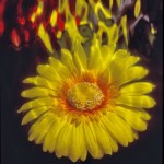 Flower Ignited