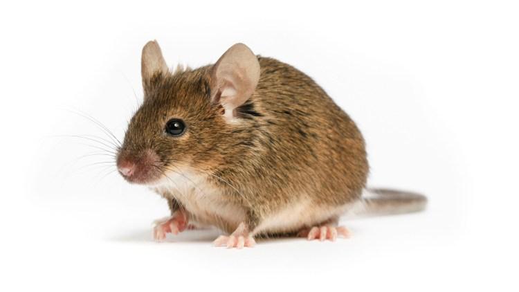 jasa pembasmi tikus bergaransi
