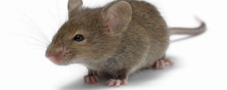 pembasmi tikus