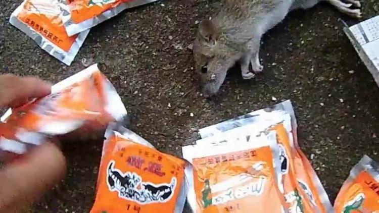 Tips Mengusir Tikus Dalam Rumah Secara Alami